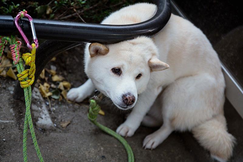 老犬の夜泣き、徘徊などのボケ症状との上手な付き合い方