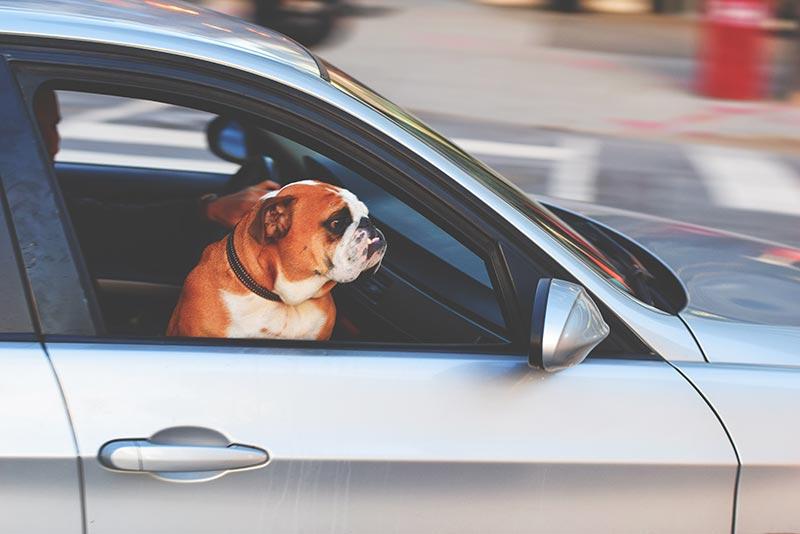 老犬とドライブ