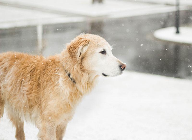 犬だって寒い、老犬の真冬対策