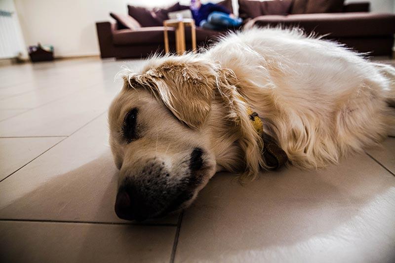 老犬が床でツルツル滑るときの4つの対処法