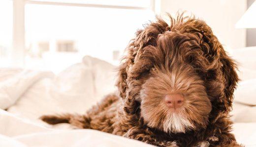 老犬のトリミングには注意が必要!ストレスになるって本当?