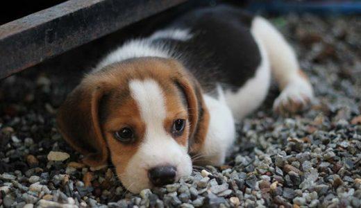 子犬を飼いたい!ペットショップとブリーダー、どっちで購入すればいいの?