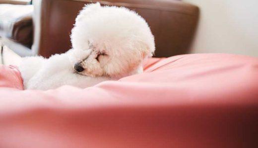 トイプードルが一番人気?一人暮らしで飼いやすいおすすめの犬種5選