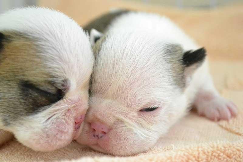 子犬のコアワクチンプログラム