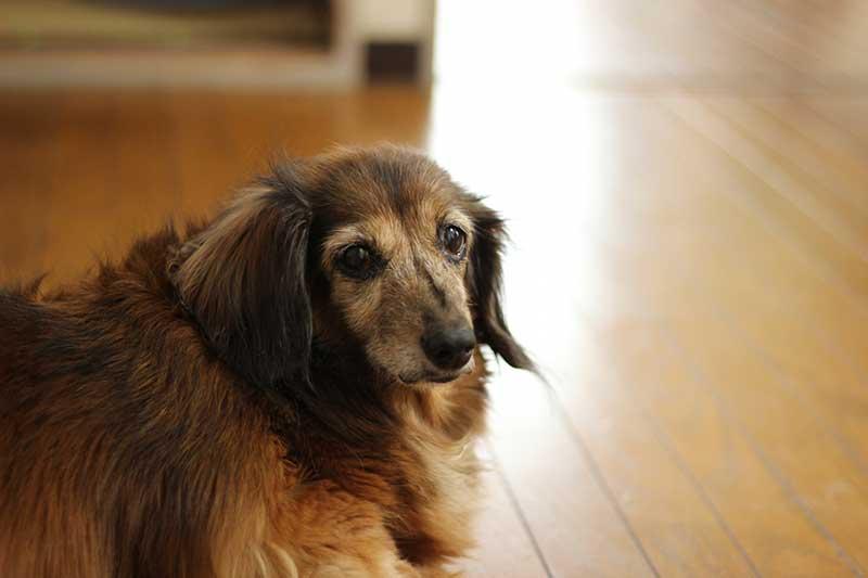 老犬の下痢の原因