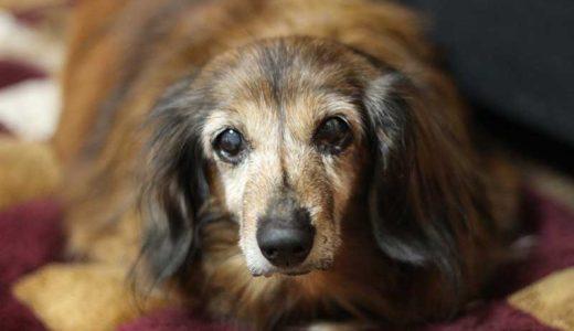 老犬の痙攣や震えの原因と対処法!重大な危険性も