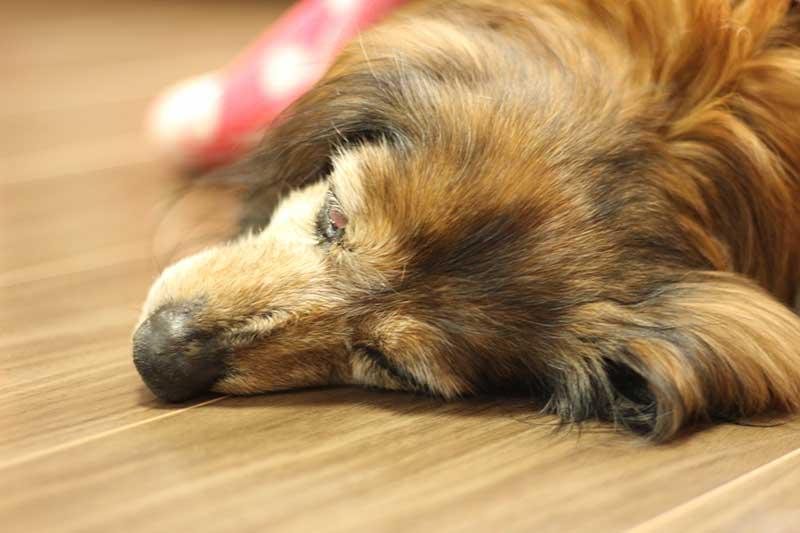 老犬の震え・痙攣は筋力の衰え